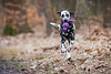 Apport (blumenbiene) Tags: hund dog hunde dogs hündin female dalmatiner dalmatian schwarz weis black white snow schnee winter apport apportieren