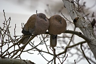 Care and Affection:  Dove Pair Perched on an Aspen Tree - V