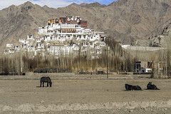 Thikse Gompa (tmeallen) Tags: thikseygompa tiksemonastery hillside indusriver mountains ladakhrange gelugspatibetan buddhistmonastery winter 15thcentury indusrivervalley jammuandkashmir india potaladesign