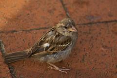 IMG_5243 (Lightcatcher66) Tags: spatzensparrows florafauna makros lightcatcher66