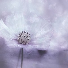 7/52 Cosmos (Small and Beautiful) Tags: flower pastel square cosmos d3100 nikon digital processing smallandbeautiful garden spring art