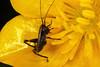 Juvénile (nymph) de Pholidoptera aptera. (chug14) Tags: unlimitedphotos animalia arthropoda hexapoda insecta orthoptera tettigoniidae juvénile nymph larve macro decticellecendrée ptérolèpeaptère grylluscinereus locustagriseoaptera pholidopteracinerea pholidopteragriseoaptera