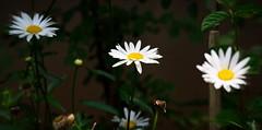 Simply daisies... (Coisroux) Tags: daisies bellisperennis gardens asteraceae d5500 nikond flora blurred shadows darkness closeup movement