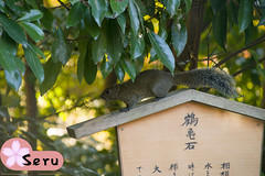 A Squirrel in Kamakura (Seruru) Tags: japon japan kamakura squirrel ardilla japonesa japanese temple templo animal arbol tree 日本 鎌倉 神社 リス 栗鼠 木 動物
