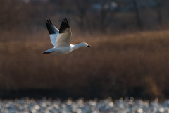 20180220-298 (Dustin Graffa) Tags: animals birds middlecreek places snowgeese snow geese migration spring bird birdinflight pennsylvania canon tamron 150600