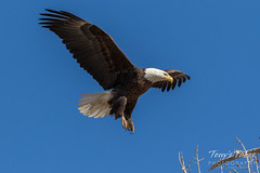Bald Eagle approach and landing - 15 of 27