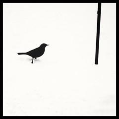 Black (and White) Bird (dave_stobie) Tags: square bird blackbird samsung snow winter phone mono contrast blackandwhite minimalist silhouette