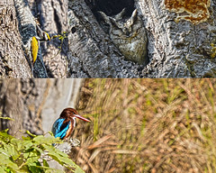 Kanha Bird Compiliation (JKIESECKER) Tags: birds wildlife wildlifeviewing protectedareas wildlifeportrait tigerpreserves kanhatigerpreserve owls kingfisher woodpecker