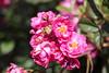 Maig_0071 (Joanbrebo) Tags: barcelona catalunya españa es park parque parc parccervantes flors flores flowers fleur fiori blumen blossom garden jardí jardín rosa rose 17èconcursinternacionalderosesnovesdebarcelona canoneos80d eosd efs18135mmf3556is autofocus