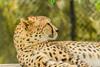 Cheetah (Merrillie) Tags: spots zoo rothschildgiraffe cat cheetah acinonyxjubatus neck wildlife giraffa animals fauna spotty giraffe animal