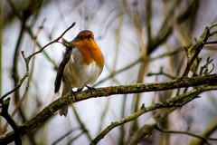Rockin' Robin (RA Oliver) Tags: reddish vale greater manchester stockport red breast uk united kingdom england great britain