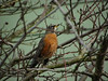 High Robin (ambrknr) Tags: bird robin american wildlife local backyard eugene wester oregon pacific northwest drunk fowl high