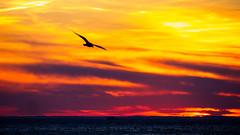 P1200199.jpg (deepaqua) Tags: brooklyn offseason atlanticocean gull coneyisland cloud bird seagull ocean sunset winter