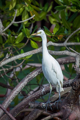 Aigrette pique boeuf, Guadeloupe (patrick Thiaudiere, thanks for 1,25 million views) Tags: blanc white bird tree legs pattes jambes echassier bec plumes