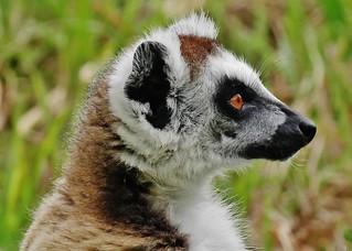 Ring-tailed Lemur Portrait (Lemur catta)