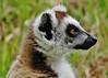 Ring-tailed Lemur Portrait (Lemur catta) (Susan Roehl) Tags: madagascar2017 islandofmadagascar offtheeastcoastofafrica berentyreserve ringtailedlemur portrait animal mammal criticallyendangered largelemur strepsirrhineprimate lemuridaefamily endemic galleryforests spinyscrub southernregion maki omnivore highlysocial highlyterritorial femaledominantsociety diurnal sunbathe goodsenseofsmell scentmarking highlyvocal onlyabout2000individualsleft habitatloss hunting poaching bushmeattrade sueroehl photographictours naturalexposures panasonic lumixdmcgh4 100400mmlens handheld cropped ngc coth5 npc