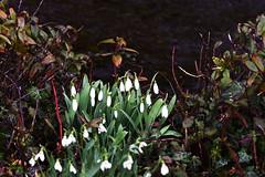 DSC_8796 Snowdrops (PeaTJay) Tags: nikond750 sigma reading lowerearley berkshire macro micro closeups gardens outdoors nature flora fauna plants flowers snowdrops