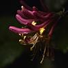 Pink_Honeysuckle_8269 (mannmadephotos) Tags: bloom bud closeup flora floral flower flowerbud garden gardening honeysuckle lonicera macro nature ornamental petal pink pinkflower plant