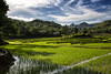 Rice Terraces, Tagari, Sulawesi (Hank888) Tags: hank888 sulawesi rice