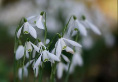 Dreaming of Snowdrops (janroles) Tags: serene garden dorset fleur flickr kingstonlacy white green february winter england plant nature canoneos400d closeup outdoor bokeh dof depthoffield galanthus