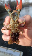 Crayfish with eggs