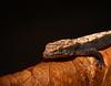 Geckonidae (monoblack) Tags: nikon d7000 colombia medellin gecko reptil fauna silvestre animal herpetologia