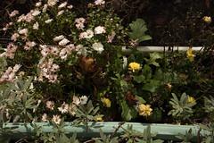 jdy310XX20171106a4715Bias-1 stop.jpg (rachelgreenbelt) Tags: ghigreenbelthomesinc usa subfamilyasteroideae northamerica asteridsclade ouryard americas supertribeasterodae orderasterales chrysanthemumall eudicots tribeanthemideae midatlanticregion familyasteraceae dendranthema campanulidsclade maryland greenbelt dendranthemaall magnoliophyta anthemideae anthemideaetribe asterfamily asteraceae asteraceaefamily asterales asteralesorder asterids asterodae asterodaesupertribe asteroideae asteroideaesubfamily asters compositaefamily compositefamily daisyfamily floweringplants spermatophytes sunflowerfamily