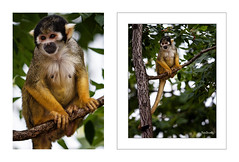 Singe écureuil du Costa Rica.. ( Sapajou) (RégisD) Tags: singe ecureuil foret costa rica branche regard poil tétons femelle