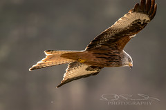 Red Kite (rodbeech) Tags: birds bird birdwatching yourbestbirds birding birdstagram nutsaboutbirds wildlifephotography kingsbirds bestbirdshots wildlife allmightybirds featherperfection parrots parrot instabirds instabird birdlovers birdfreaks pocketbirds birdextreme eyespybirds wildlifeperfection igbirds parakeet birdbrilliance birdlover feathers birdsofinstagram birdphotography birdsofprey hawk