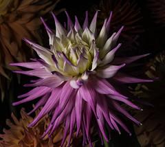 White And Pink Dahlia In The Light (Bill Gracey 17 Million Views) Tags: sandiegocountyfair dahlia offcameraflash yongnuo yongnuorf603n ambientlight darkbackground lastoliteezbox softbox directionallight sidelighting fleur flower flor
