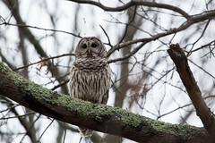 Barred Owl (grobinette) Tags: barredowl owl raptor juliejmetzneabscocreekwetlandspreserve