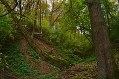 Slanted lime-trees (МирославСтаменов) Tags: russia kaluga tarusa ravine lime tree slanted trunk slope forest