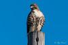 Red tailed hawk – 2 (Roy Prasad) Tags: bird hawk redtailed predator prasad royprasad sony a7rm3 lodi california travel nature wildlife