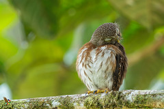 Central American Pygmy-Owl (fernaabs) Tags: central american pygmyowl glaucidium griseiceps lechuza mochuelo strigiformes aves strigidae fernaabs burgalin avesdecostarica hobby picture
