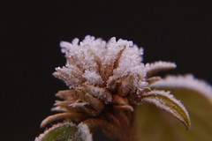Frozen flower bud (Steenjep) Tags: winter snow vinter sne frost rim