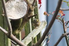 Goldcrest (ray 96 blade) Tags: birds goldcrest starling parakeets gardenbirds throughthewindow bestviewedlarge springwatch wildlife canon 80d