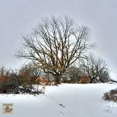 the oak tree (El Saskuas) Tags: el roble bajo la nieve en sierra de atapuerca burgos saskuas saskuasfotografia