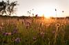 Summer Sunset (Enaruna) Tags: 24mm 24mmf14 24mm14 landscape landschaft light sommer sonne sonnenlicht sonnenschein sonnenuntergang summer sunlight sunset sunshine