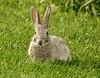 Green buffet (evakatharina12) Tags: rabbit animal grass food eat wyoming windriver