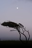 Moon catcher (Paul Drinkwater Photography) Tags: nikon d7100 50mm f14g nature moon tree travel wsm westernsupermare