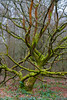 The Tree - Winter (alan.dphotos) Tags: tree trees lichen moss mosses winter bare