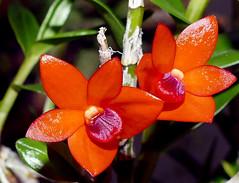 Dendrobium mohlianum species orchid (nolehace) Tags: dendrobium mohlianum species orchid 1217 red nolehace sanfrancisco fz1000 winter bloom plant flower