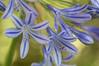 Purple flowers (Miss Basil85) Tags: purple petals macro nature flower flowers wellington botanicgardens northisland newzealand nz nikon d3200