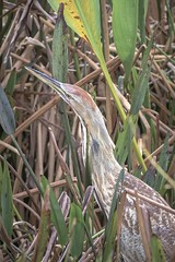 American Bittern (c) 2017 Paul Thomas. All rightsa reserved. March 2, at Green Cay Nature Center, Boynton Beach, West Palm Beach County, Florida