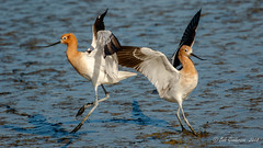 American Avocets (Bob Gunderson) Tags: california coastcaseyforebay northerncalifornia santaclaracounty southbay avocets americanavocets recurvirostraamericana