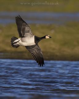 Barnacle Goose Flight 7th January