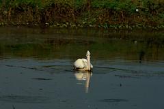 Spot-billed pelican (pramod bayya) Tags: nikon nikon3200 pelican birdwatcher birdwatching bird lake