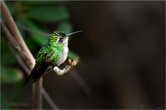 Profile of an Emerald Hummingbird (Explored) (soupie1441) Tags: cayo coco cuba nikon d7200 nikkor 200500mm emerald hummingbird cuban nature wildlife dof shallow green blurred blur background