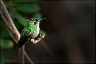 Profile of an Emerald Hummingbird (Explored)