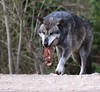 MINE !!! (babsbaron) Tags: nature tiere animals raubtier predator wolf wölfe wolves jäger hunter zoo erlebniszoo hannover timberwolf